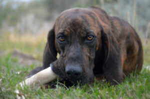 Plott Hound mit Knochen