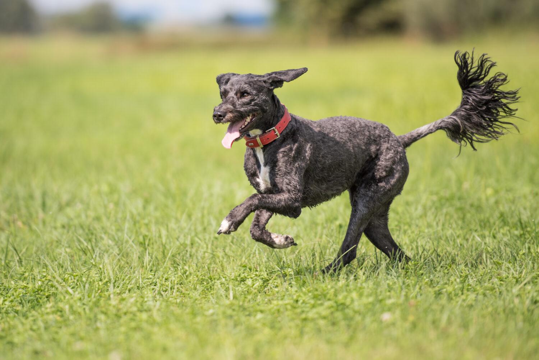 Portugiesischer Wasserhund im Auslauf