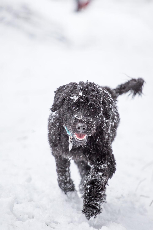 Portugiesischer Wasserhund im Schnee