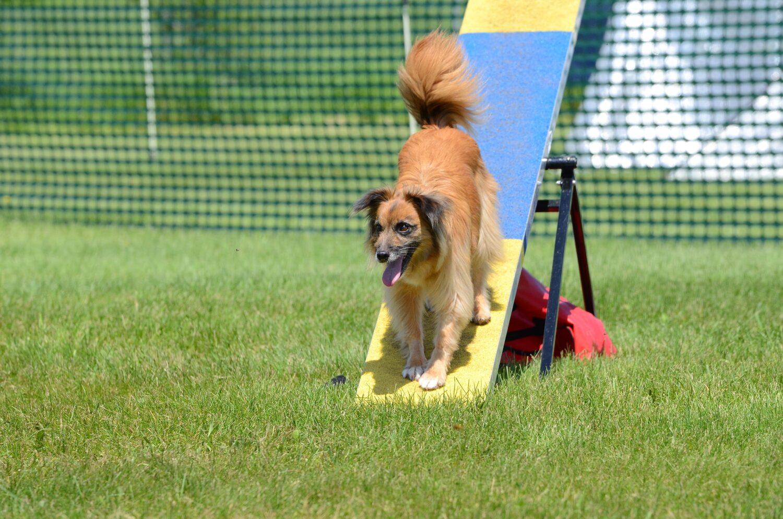 Berger des Pyrénées beim Hundesport Agility