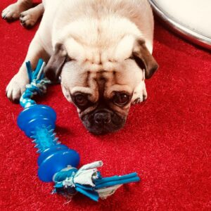 Retromops liegt auf dem Teppich mit seinem Spielzeug