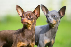 Zwei Prager Rattler Toy Hunde