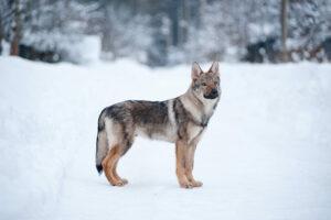 Saarloos Wolfhund im Schnee