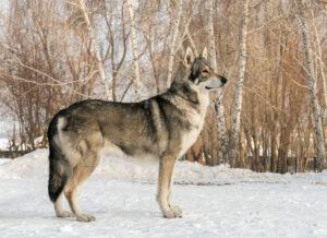 Saarloos Wolfhund von der Seite