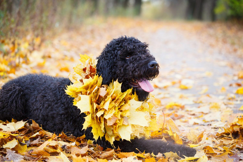 Russischer Schwarzer Terrier in der Natur
