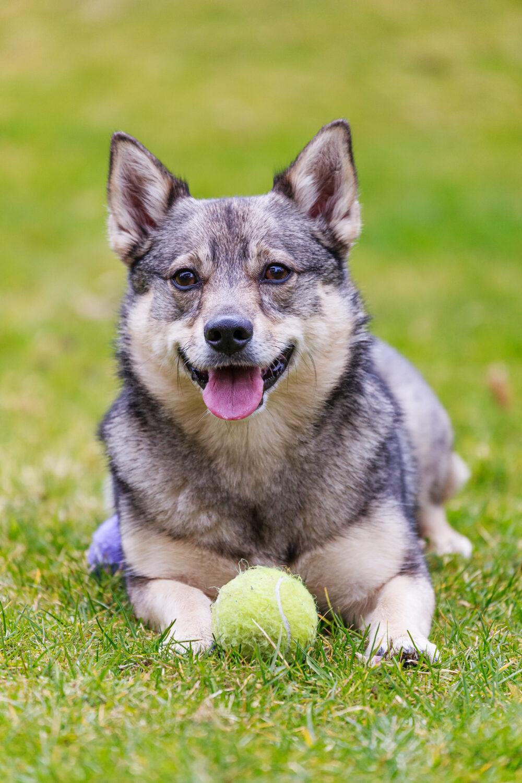 Schwedischer Vallhund auf dem Rasen