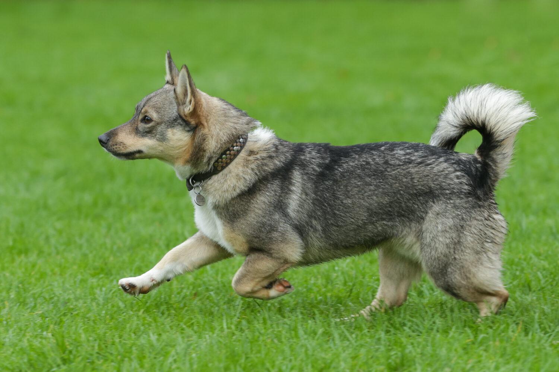 Schwedischer Vallhund von der Seite