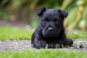 Scottish Terrier Welpe