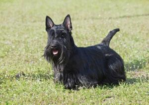 Scottish Terrier in der Natur
