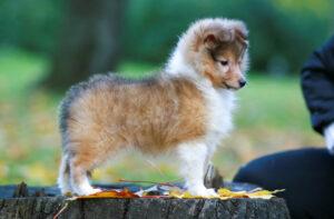 Shetland Sheepdog Welpe