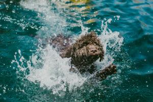 Spanischer Wasserhund schwimmt