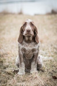 Spinone Italiano im Portrait