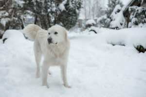 Tatra Schäferhund im Schnee