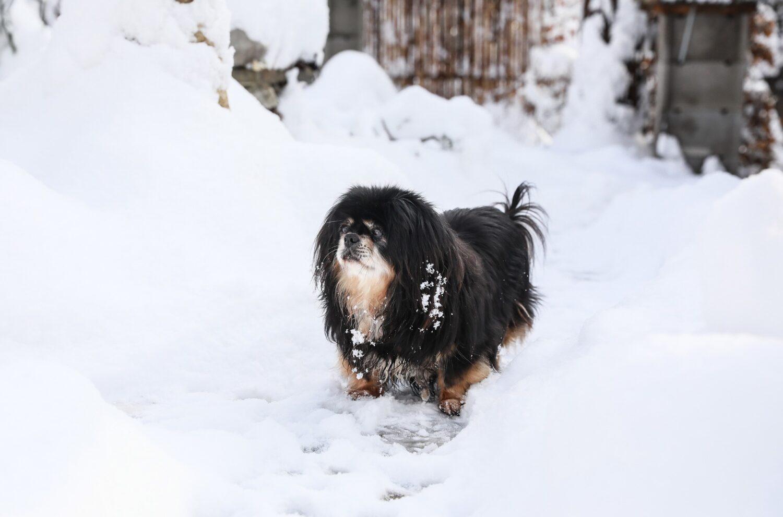Tibet Spaniel im Schnee