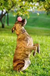 Hund jongliert mit einem Ball
