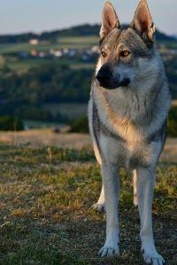 Tschechoslowakischen Wolfshundes von Vorne