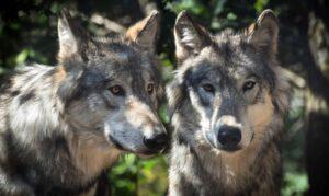 Wölfe in der Natur