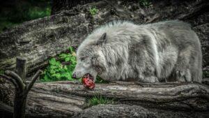 Wolf am Essen