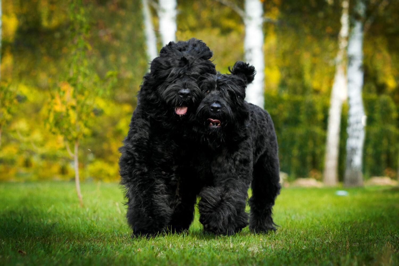 Zwei Russische Schwarze Terrier auf einer Wiese