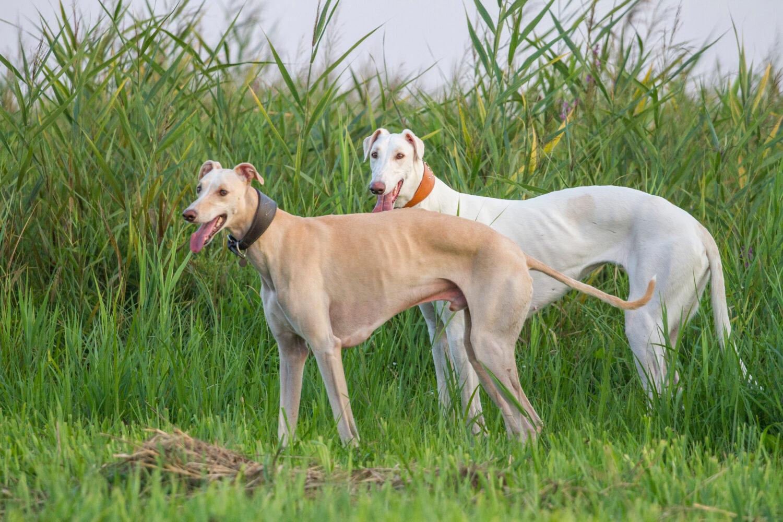 Windhunde: Zwei Chart Polskis in der Natur