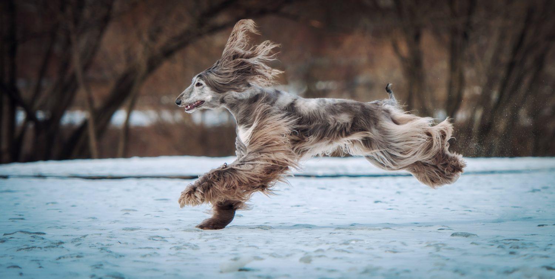 Afghanischer Windhund Auslauf