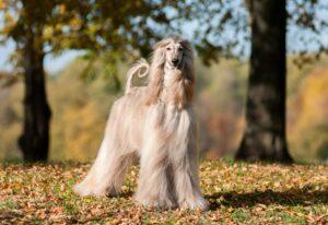 Afghanischer Windhund in der Natur