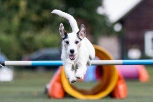 Agility: Hund überspringt ein Hindernis