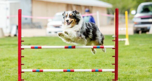 Agility: Hund im Hindernissprung auf grüner Rasenfläche