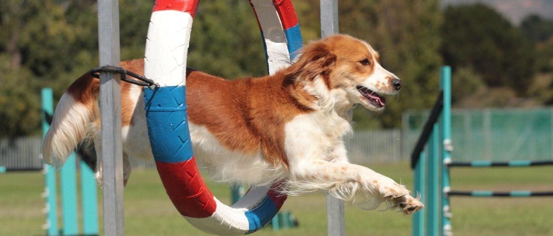 Agility: Hund springt durch einen dreifarbigen Reifen