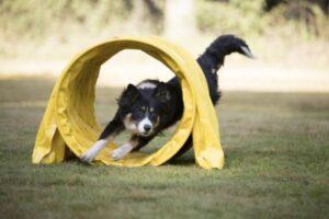 Agility: Hund läuft im Parcourslauf durch einen gelben Tunnel