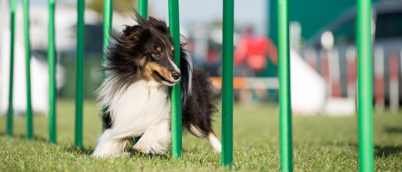 Agility: Hund im dynamischen Slalomlauf auf grüner Rasenfläche