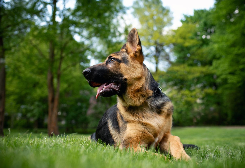 Altdeutscher Schäferhund im Liegen