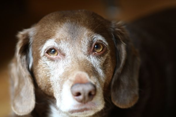 Alter Hund in Nahaufnahme