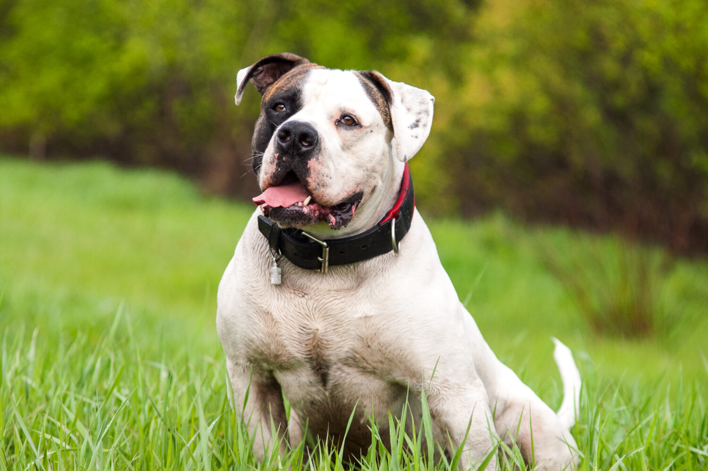 American Bulldog im Sitzen