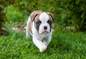 American Bulldog Welpe