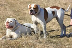 American Bulldog zu zweit