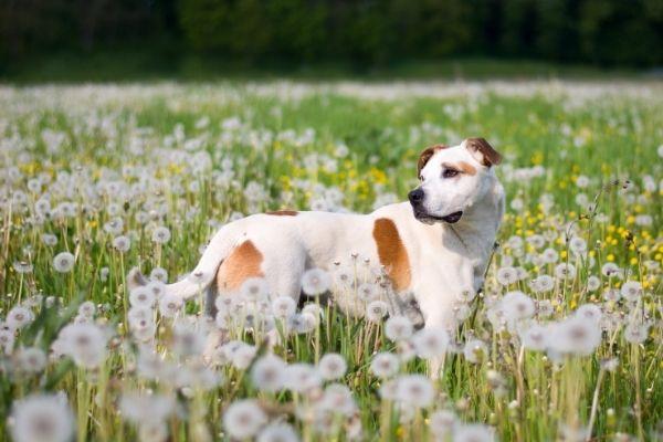 American Pit Bull Terrier auf der Wiese