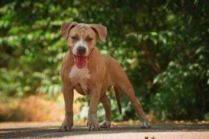 American Pit Bull Terrier im Stehen