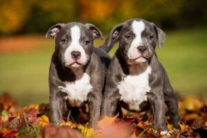 American Pit Bull Terrier Welpen