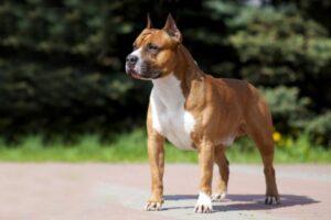 American Staffordshire Terrier draußen