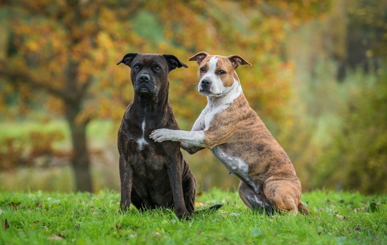 Anhängliche Hunderassen: Zwei American Staffordshire Terrier