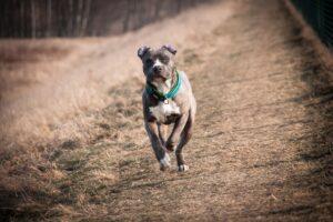 Listenhunde Deutschland: American Staffordshire Terrier läuft