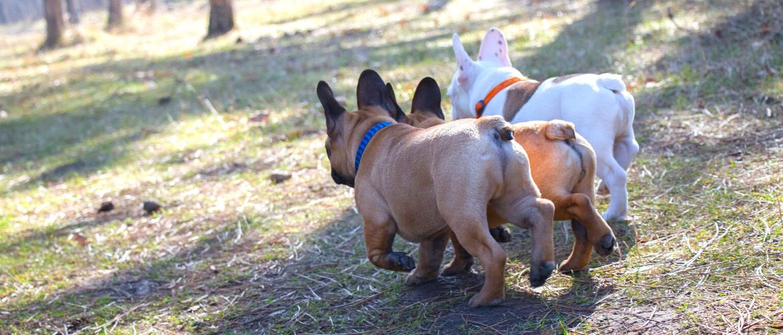 Analdrüsen beim Hund: Französische Bulldoggen von hinten