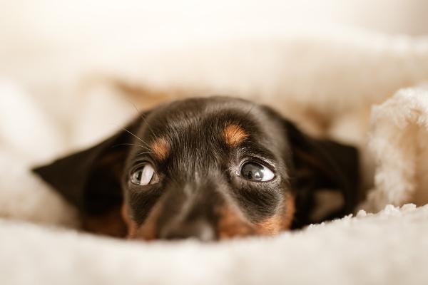 Analdrüsen beim Hund: Hund guckt traurig