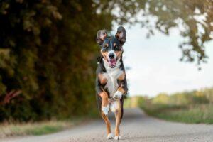 Appenzeller Sennenhund springt auf der Straße
