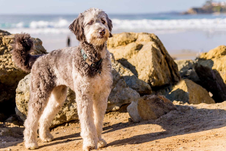 Aussiedoodle am Strand