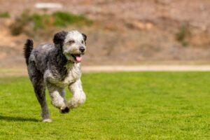Aussiedoodle rennt über Wiese