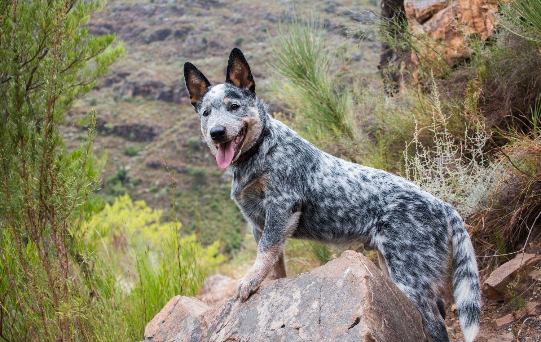 Australian Cattle Dog auf Stein
