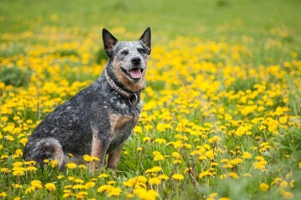 Australian Cattle Dog auf Wiese