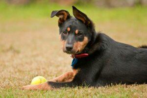 Australian Kelpies zählen zu den gesündesten Hunderassen